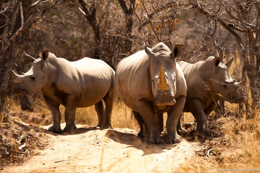 The rhinos are rapidly heading towards extintion @BlogEquusJourneys