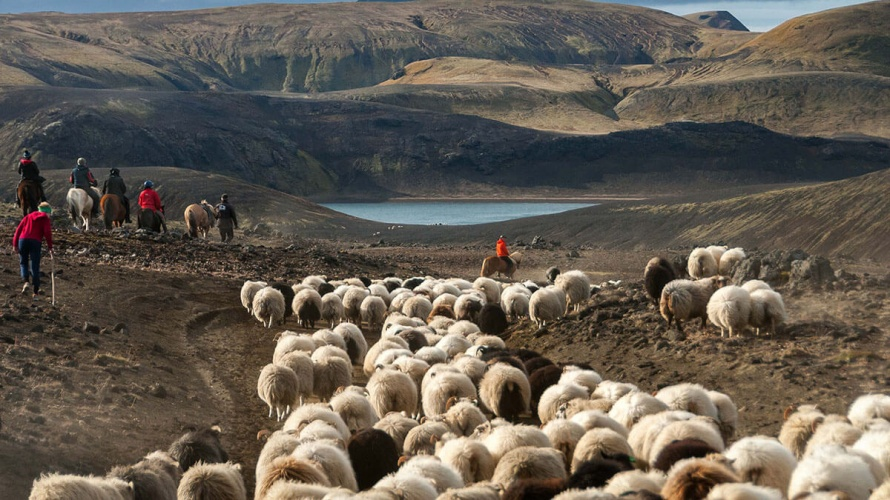Sheep round-up in Iceland (c) Equus Journeys