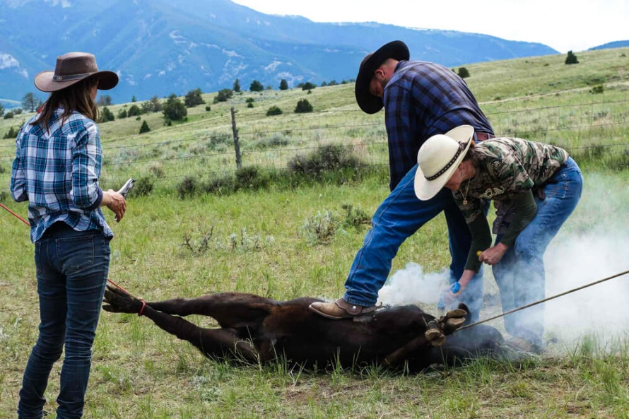 Branding calves at the Dryhead Ranch @WorldwideHoofprints
